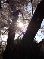 2012sakura_asahi.jpg
