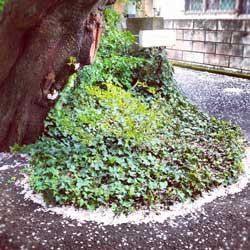 2012sakura_fukidamari.jpg