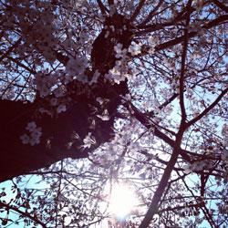 2012sakura_tubomi1.jpg