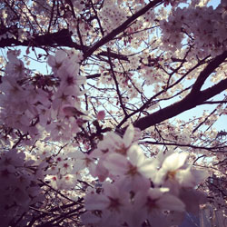 2012sakura_tubomi2.jpg