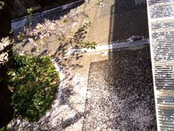 2012sakurafubukitokage.jpg