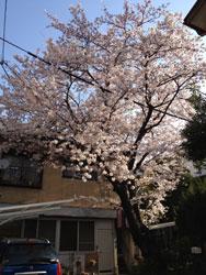 2012sakurazenbou.jpg