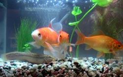 goldfishs.jpg