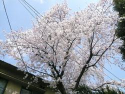 sakura2009_2.jpg